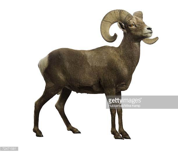 aries the ram with horns